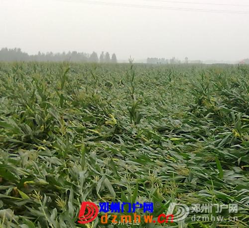 看看邓州的苞谷地,弄不好秋季要绝收 - 邓州门户网|邓州网 - 2.png