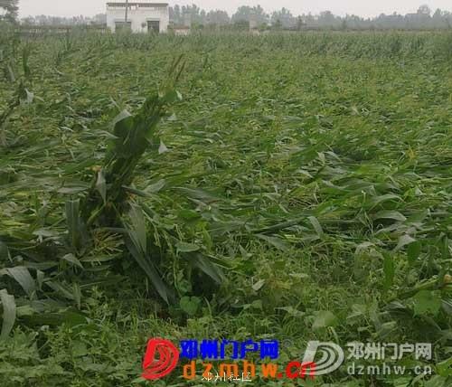 看看邓州的苞谷地,弄不好秋季要绝收 - 邓州门户网|邓州网 - 20110817719.jpg
