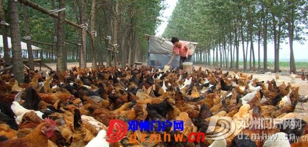 邓州林下养柴鸡 (图) - 邓州门户网 邓州网 - 2011081809140205.jpg