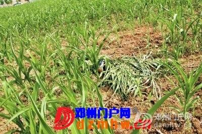 邓州玉米地惊现怀孕女尸 系因纠纷被公公勒死 - 邓州门户网|邓州网 - 89177944.jpg