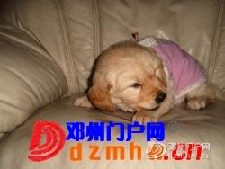 且看我家妞妞狗子从可爱小狗成长为妈妈狗! - 邓州门户网|邓州网 - ccc_wzzmvaLPK17y.jpg