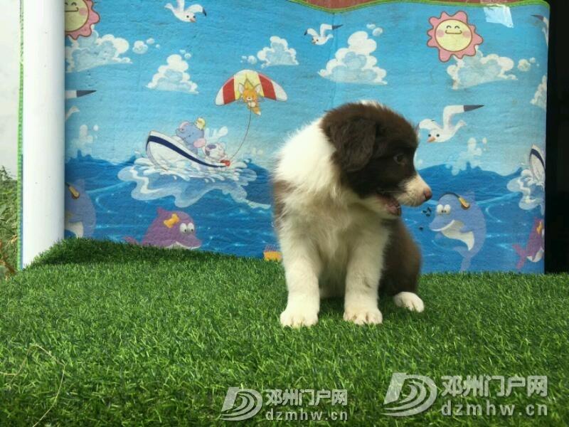 边境牧羊犬 - 邓州门户网 邓州网 - mmexport1534942386843.jpeg