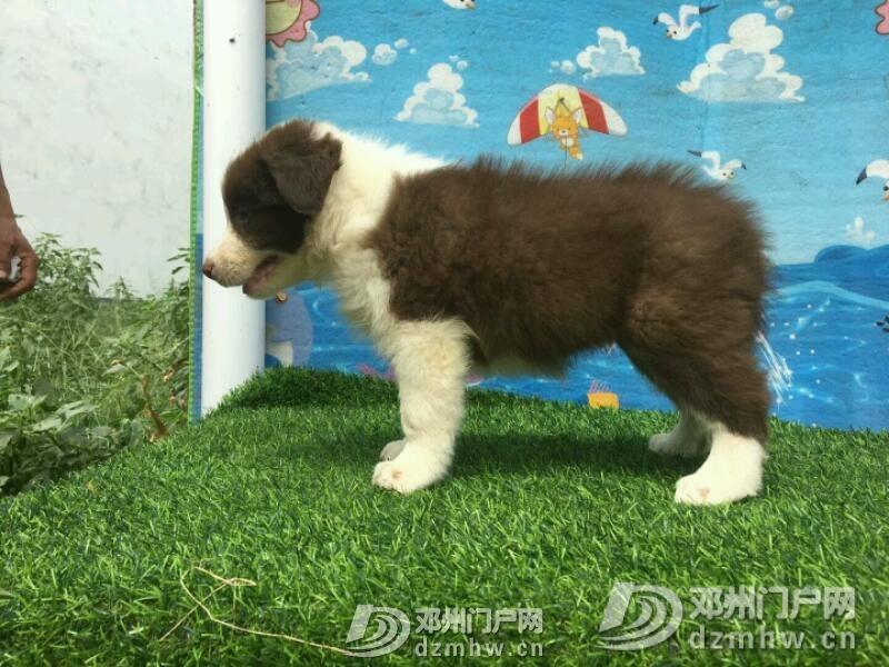 边境牧羊犬 - 邓州门户网|邓州网 - mmexport1534942382578.jpeg