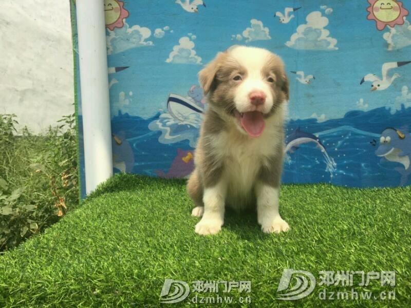 边境牧羊犬 - 邓州门户网 邓州网 - mmexport1534942337371.jpeg