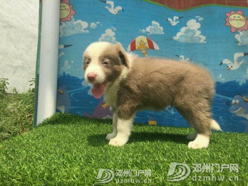 边境牧羊犬 - 邓州门户网|邓州网 - mmexport1534942369618.jpeg