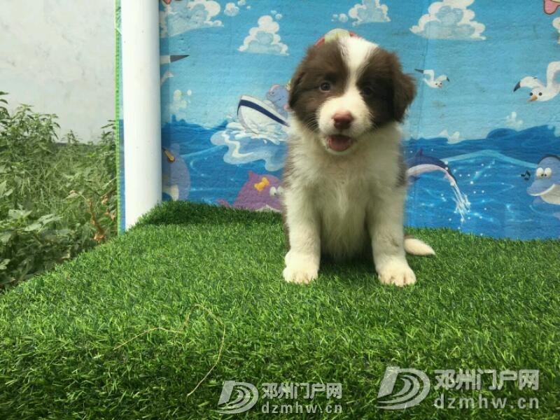 边境牧羊犬 - 邓州门户网 邓州网 - mmexport1534942378280.jpeg