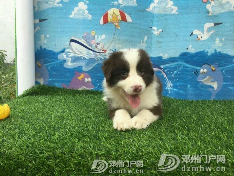 边境牧羊犬 - 邓州门户网|邓州网 - mmexport1534942373882.jpeg