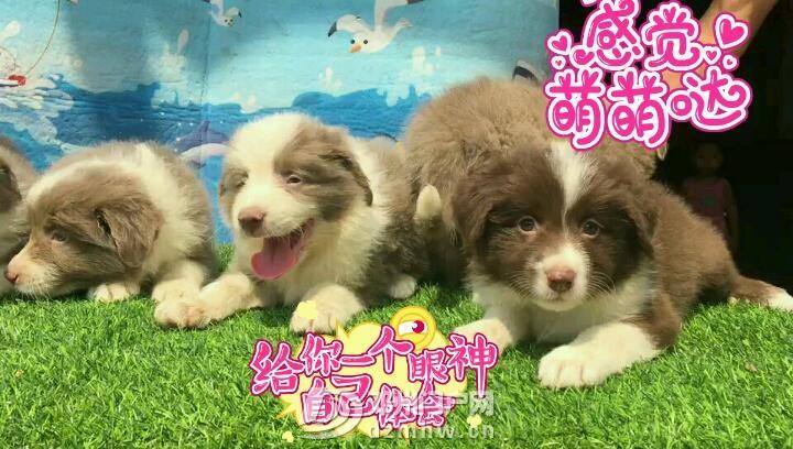 边境牧羊犬 - 邓州门户网|邓州网 - 3dZzp9OxoPhp.jpg