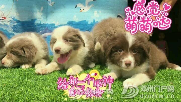 智商排名第一边境牧羊犬 - 邓州门户网 邓州网 - 1535589911121_sticker.jpeg