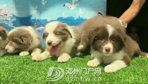 智商排名第一边境牧羊犬 - 邓州门户网 邓州网 - videoCover.jpeg