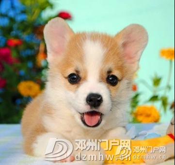 柯基 - 邓州门户网|邓州网 - 1554776209(5).jpg