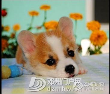 柯基 - 邓州门户网|邓州网 - 1554776209(6).jpg