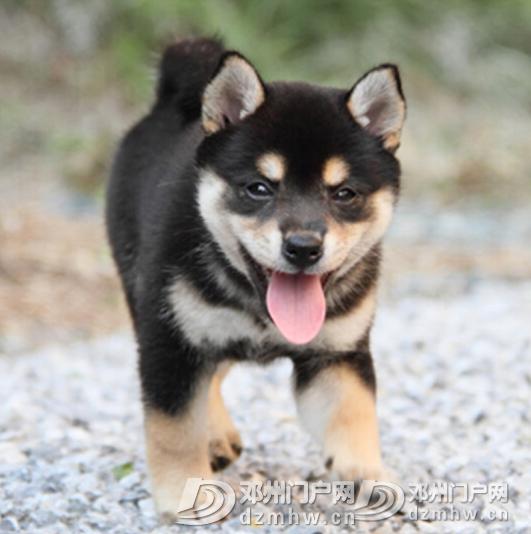 柴犬 - 邓州门户网|邓州网 - {R1B%YQU(5{85W`VM}XU`6H.png