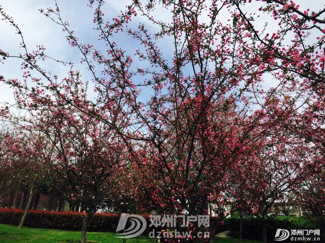春暖花开,邓州,久等了! - 邓州门户网|邓州网 - 8deebe499cd634d2dea5c8cc24398f16.jpg
