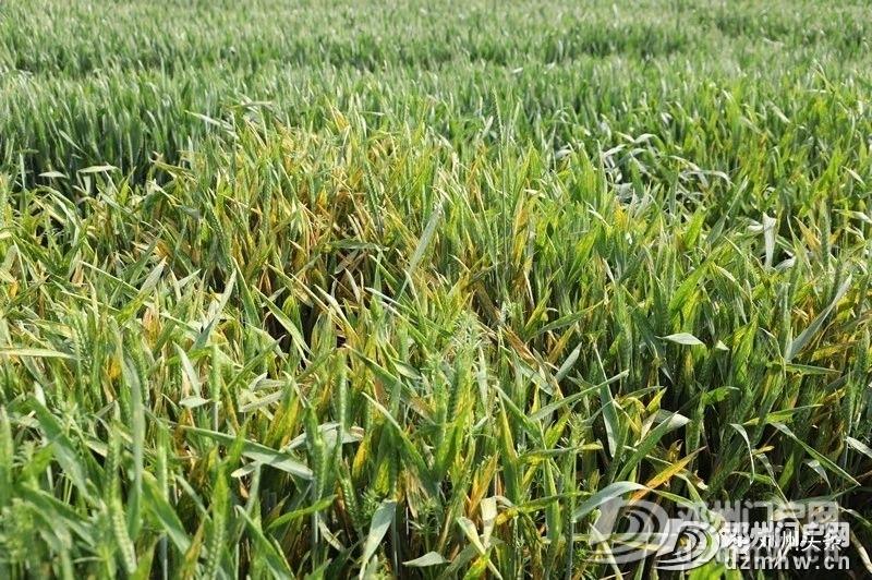 警惕!邓州小麦条锈病可能威胁粮食产量减产30%以上! - 邓州门户网|邓州网 - 5104369cad6fc7de7c9fd87522bbe2e9.jpg