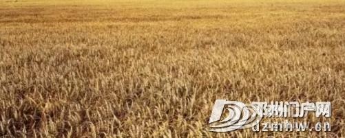 痛心!邓州又一麦田着火,百亩小麦被烧为灰烬… - 邓州门户网 邓州网 - 1488d3a66a7dccb6204f65dc7eed0596.jpg