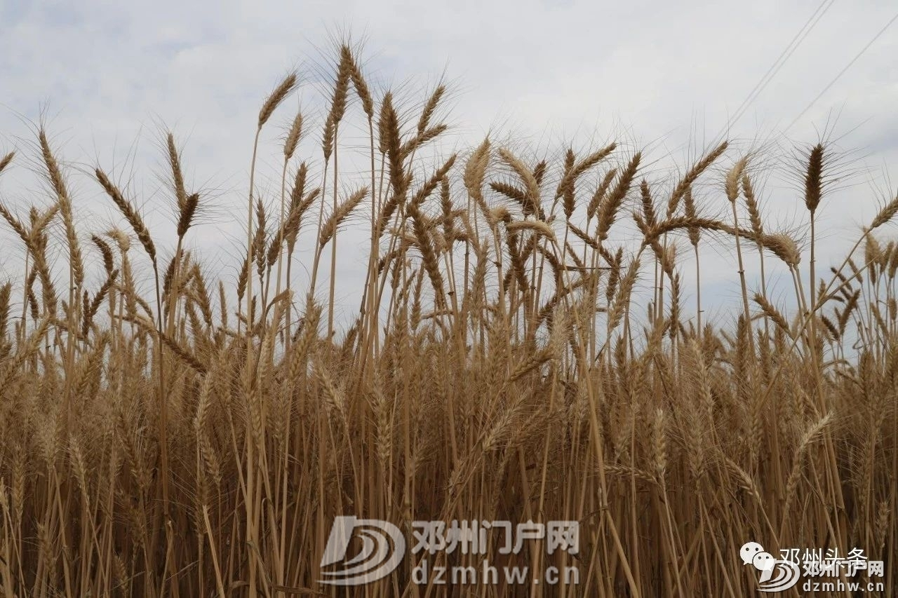 三连增!邓州市杂交小麦喜获丰收! - 邓州门户网|邓州网 - 24e16052aa84d37d511bf87e3ed9d129.jpg